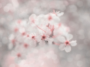 Cherry-Blossom-Tumblr-246